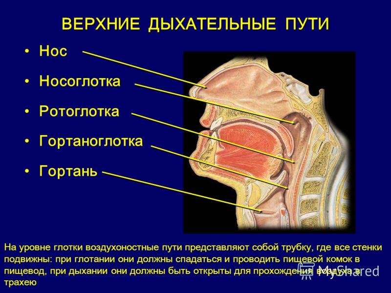 ВЕРХНИЕ ДЫХАТЕЛЬНЫЕ ПУТИ Нос Носоглотка Pотоглотка Гортаноглотка Гортань На уровне глотки воздухоностные пути представляют собой трубку, где все стенки подвижны: при глотании они должны спадаться и проводить пищевой комок в пищевод, при дыхании они д