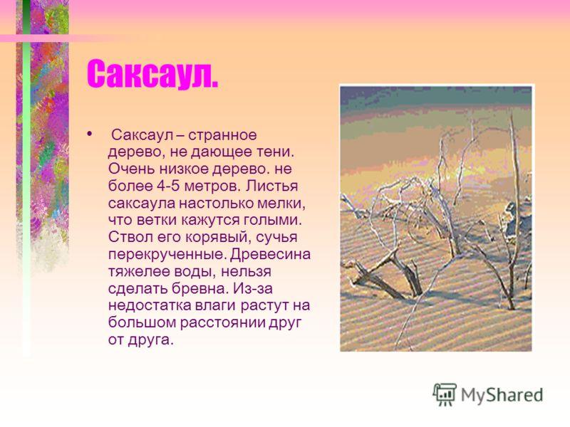 Саксаул. Саксаул – странное дерево, не дающее тени. Очень низкое дерево. не более 4-5 метров. Листья саксаула настолько мелки, что ветки кажутся голыми. Ствол его корявый, сучья перекрученные. Древесина тяжелее воды, нельзя сделать бревна. Из-за недо