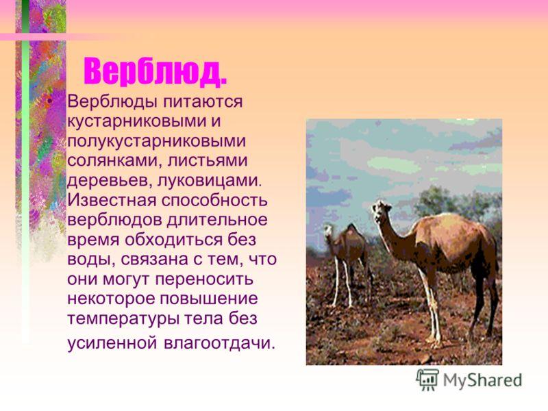 Верблюд. Верблюды питаются кустарниковыми и полукустарниковыми солянками, листьями деревьев, луковицами. Известная способность верблюдов длительное время обходиться без воды, связана с тем, что они могут переносить некоторое повышение температуры тел