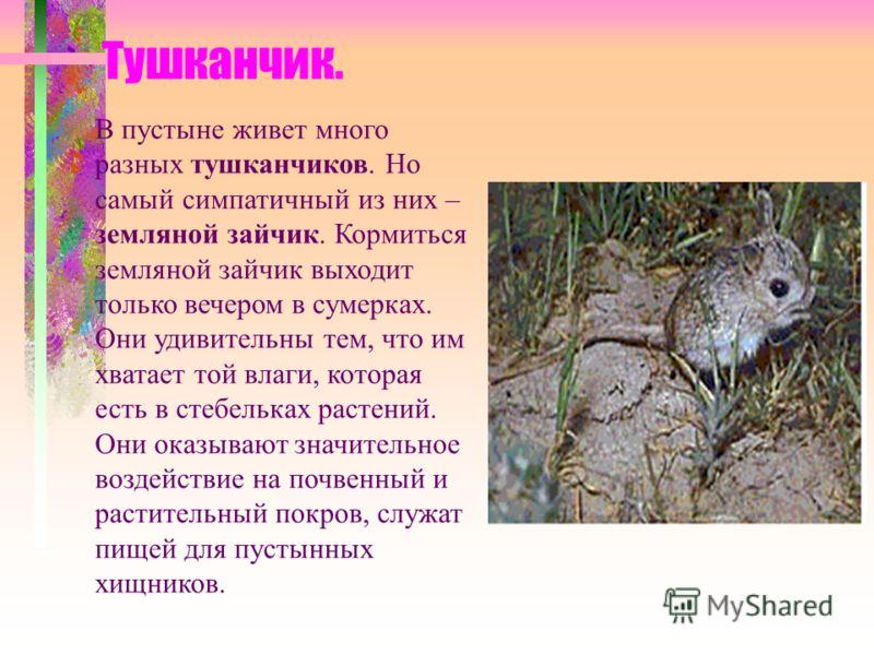 Тушканчик. В пустыне живет много разных тушканчиков. Но самый симпатичный из них – земляной зайчик. Кормиться земляной зайчик выходит только вечером в сумерках. Они удивительны тем, что им хватает той влаги, которая есть в стебельках растений. Они ок