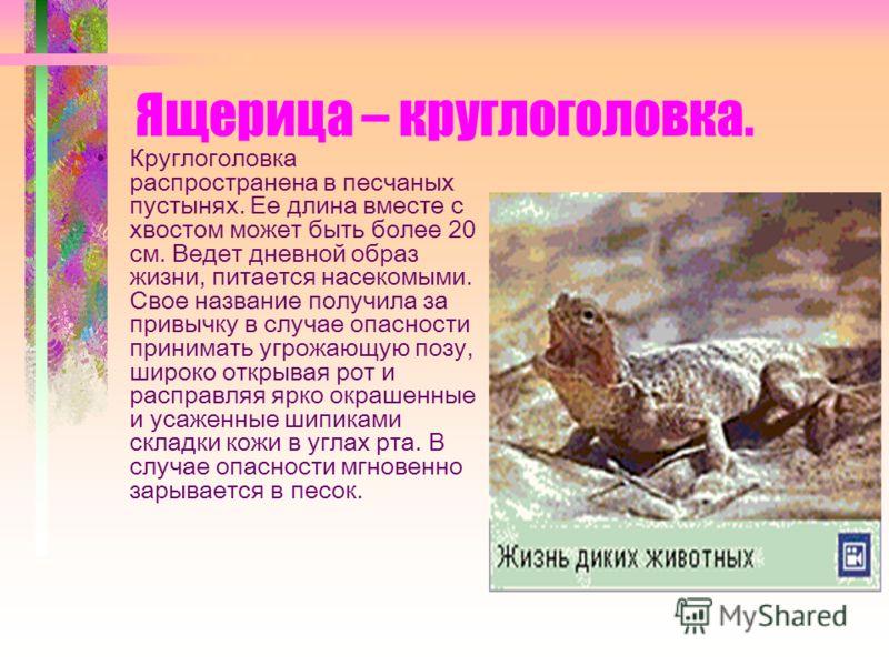 Ящерица – круглоголовка. Круглоголовка распространена в песчаных пустынях. Ее длина вместе с хвостом может быть более 20 см. Ведет дневной образ жизни, питается насекомыми. Свое название получила за привычку в случае опасности принимать угрожающую по