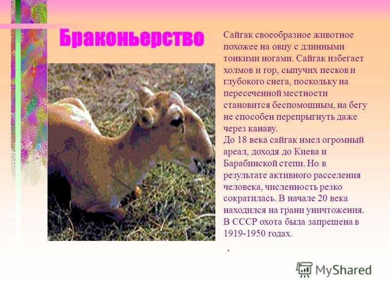 Браконьерство Сайгак своеобразное животное похожее на овцу с длинными тонкими ногами. Сайгак избегает холмов и гор, сыпучих песков и глубокого снега, поскольку на пересеченной местности становится беспомощным, на бегу не способен перепрыгнуть даже че