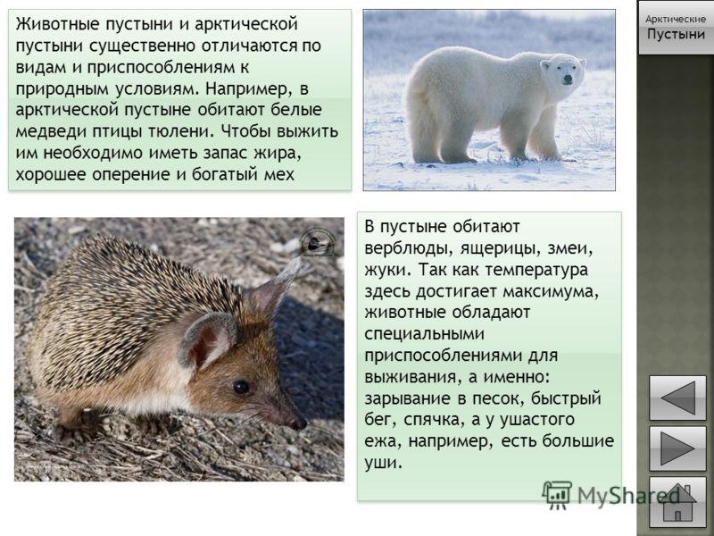 Животные пустыни и арктической пустыни существенно отличаются по видам и приспособлениям к природным условиям. Например, в арктической пустыне обитают белые медведи птицы тюлени. Чтобы выжить им необходимо иметь запас жира, хорошее оперение и богатый