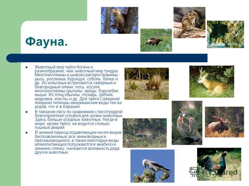 Фауна. Животный мир тайги богаче и разнообразнее, чем животный мир тундры. Многочисленны и широко распространены: рысь, росомаха, бурундук, соболь, белка и др. Из копытных встречаются северный и благородный олени, лось, косуля; многочисленны грызуны: