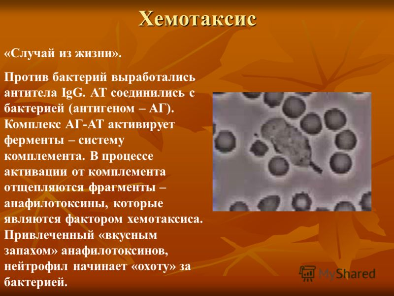 Хемотаксис «Случай из жизни». Против бактерий выработались антитела IgG. АТ соединились с бактерией (антигеном – АГ). Комплекс АГ-АТ активирует ферменты – систему комплемента. В процессе активации от комплемента отщепляются фрагменты – анафилотоксины