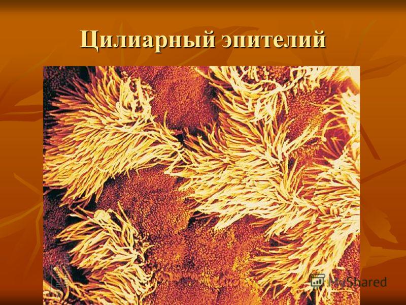 Цилиарный эпителий