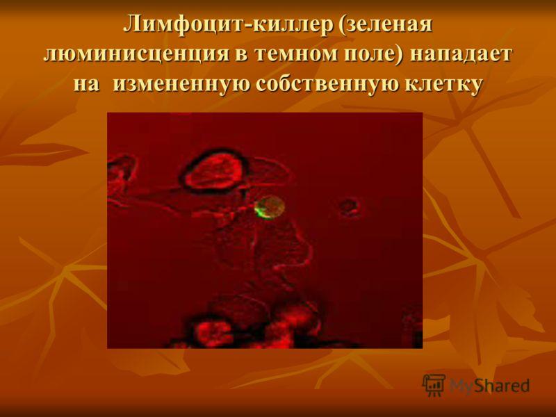 Лимфоцит-киллер (зеленая люминисценция в темном поле) нападает на измененную собственную клетку