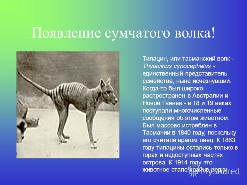 Сумчатый волк Мальцева Женя