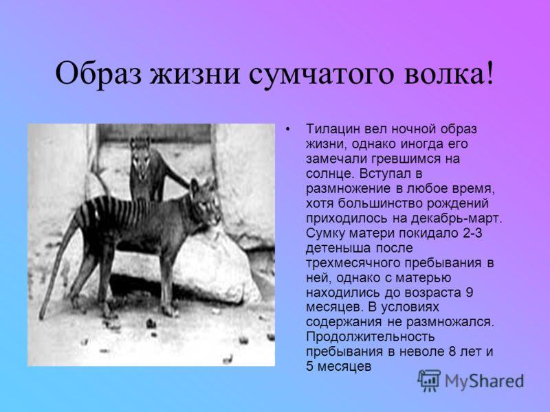 Семейство сумчатых волков! Существует мнение о том, что талицин находится в близком родстве с крупными южноамериканскими сумчатыми (ныне вымершими), с которыми он образовывал надсемейство Borhyaenoidea. По другой классификации семейство Thylacinidae