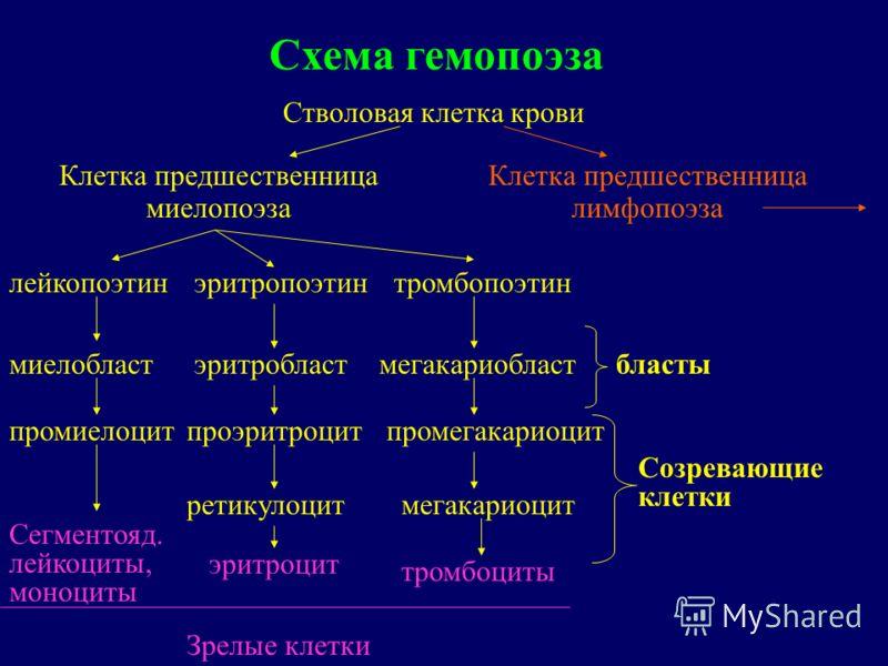 Схема гемопоэза Стволовая клетка крови Клетка предшественница миелопоэза Клетка предшественница лимфопоэза лейкопоэтинэритропоэтинтромбопоэтин миелобластэритробластмегакариобласт промиелоцитпроэритроцитпромегакариоцит Сегментояд. лейкоциты, моноциты