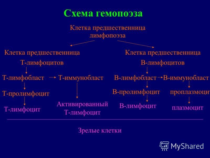 Схема гемопоэза Клетка предшественница лимфопоэза Клетка предшественница Т-лимфоцитов Клетка предшественница В-лимфоцитов Т-лимфобласт Т-пролимфоцит Т-лимфоцит Т-иммунобласт Активированный Т-лимфоцит В-лимфобласт В-пролимфоцит В-лимфоцит В-иммуноблас