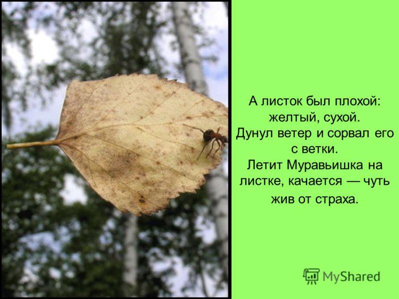 А листок был плохой: желтый, сухой. Дунул ветер и сорвал его с ветки. Летит Муравьишка на листке, качается чуть жив от страха.