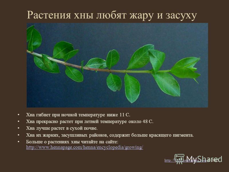 Растения хны любят жару и засуху Хна гибнет при ночной температуре ниже 11 С. Хна прекрасно растет при летней температуре около 48 С. Хна лучше растет в сухой почве. Хна их жарких, засушливых районов, содержит больше красящего пигмента. Больше о раст
