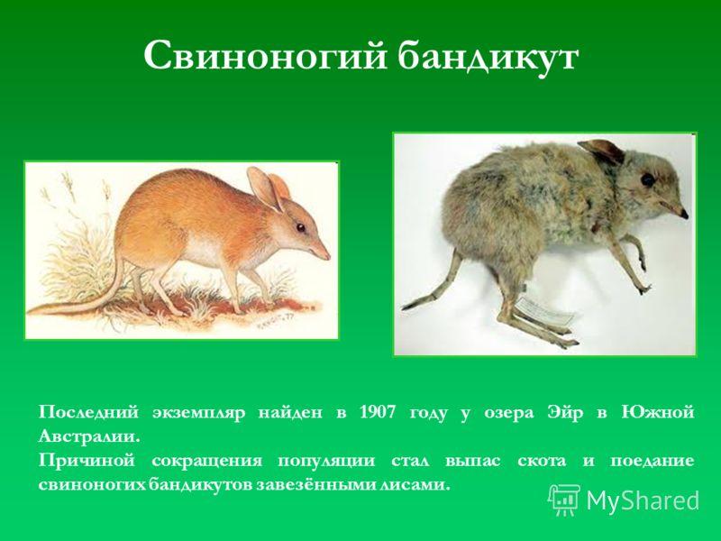 Свиноногий бандикут Последний экземпляр найден в 1907 году у озера Эйр в Южной Австралии. Причиной сокращения популяции стал выпас скота и поедание свиноногих бандикутов завезёнными лисами.
