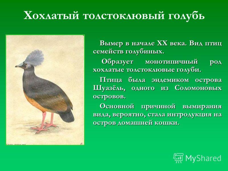 Вымер в начале XX века. Вид птиц семейств голубиных. Образует монотипичный род хохлатые толстоклювые голуби. Образует монотипичный род хохлатые толстоклювые голуби. Птица была эндемиком острова Шуазёль, одного из Соломоновых островов. Основной причин