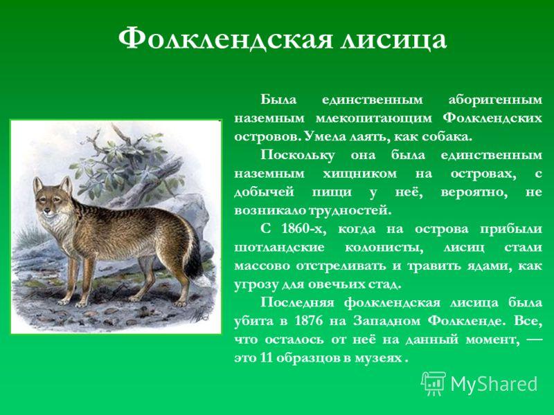 Фолклендская лисица Была единственным аборигенным наземным млекопитающим Фолклендских островов. Умела лаять, как собака. Поскольку она была единственным наземным хищником на островах, с добычей пищи у неё, вероятно, не возникало трудностей. С 1860-х,