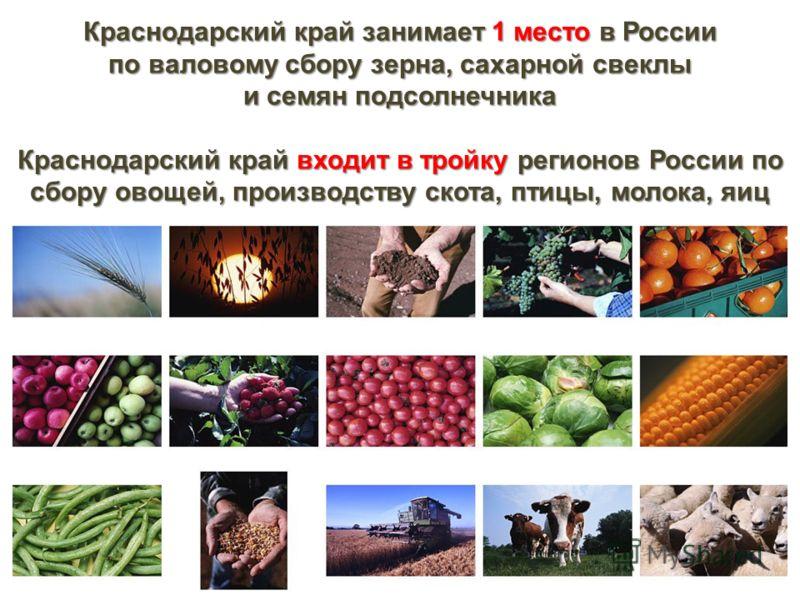 Краснодарский край занимает 1 место в России по валовому сбору зерна, сахарной свеклы и семян подсолнечника Краснодарский край входит в тройку регионов России по сбору овощей, производству скота, птицы, молока, яиц
