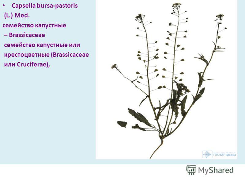 Capsella bursa-pastoris (L.) Med. семейство капустные – Brassicaceae семейство капустные или крестоцветные (Brassicaceae или Cruciferae),