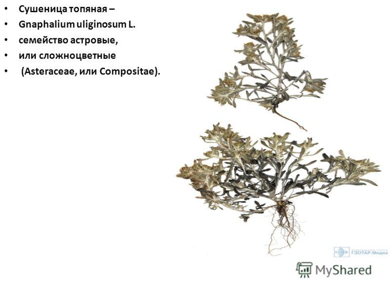 Сушеница топяная – Gnaphalium uliginosum L. семейство астровые, или сложноцветные (Asteraceae, или Compositae).