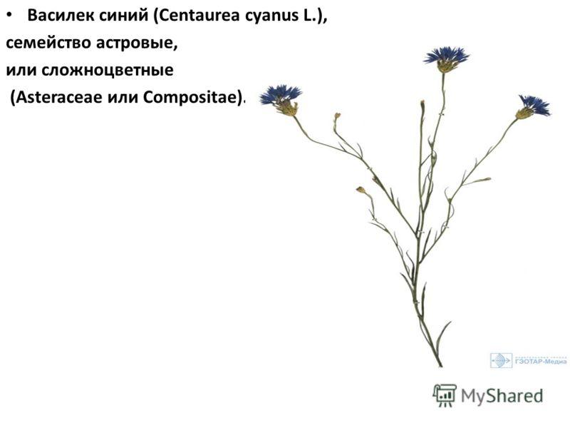 Василек синий (Centaurea cyanus L.), семейство астровые, или сложноцветные (Asteraceae или Compositae).