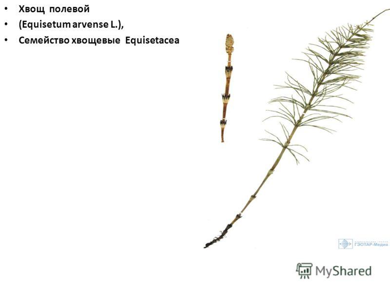 Хвощ полевой (Equisetum arvense L.), Семейство хвощевые Equisetaceae