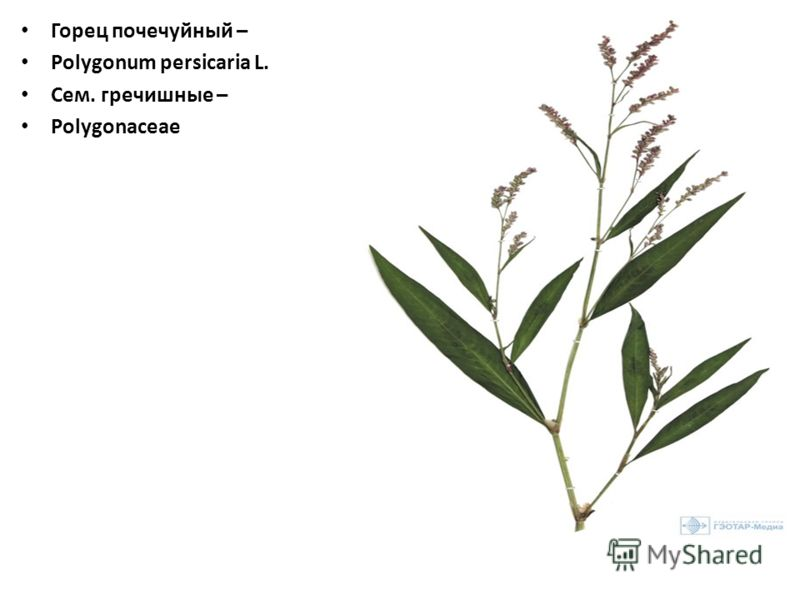 Горец почечуйный – Polygonum persicaria L. Сем. гречишные – Polygonaceae