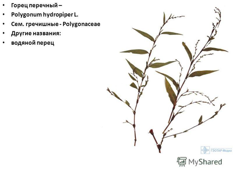 Горец перечный – Polygonum hydropiper L. Сем. гречишные - Polygonaceae Другие названия: водяной перец