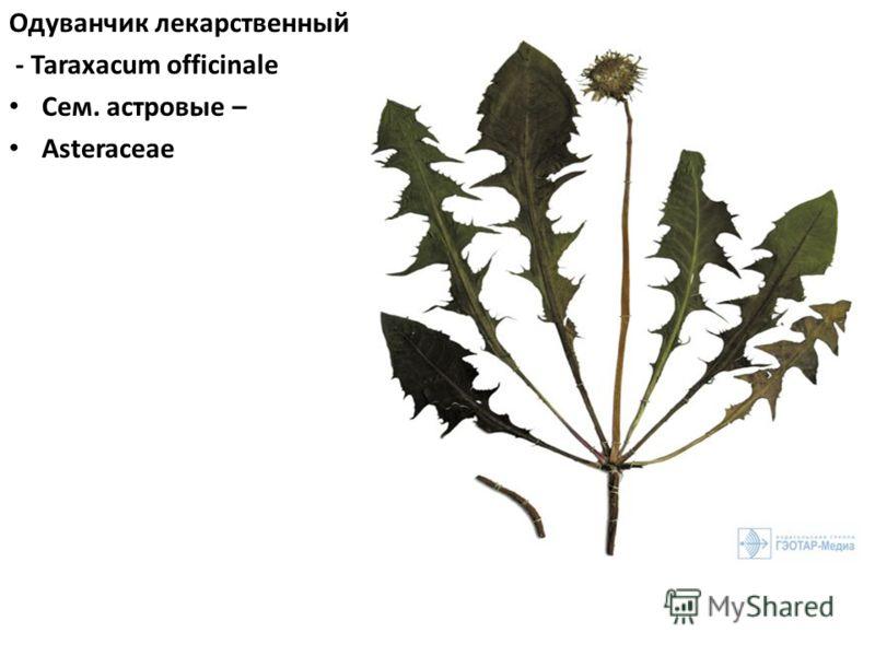 Одуванчик лекарственный - Taraxacum officinale Сем. астровые – Asteraceae