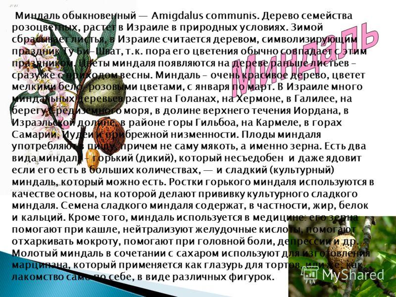 Миндаль обыкновенный Amigdalus communis. Дерево семейства розоцветных, растет в Израиле в природных условиях. Зимой сбрасывает листья, в Израиле считается деревом, символизирующим праздник Ту Би-Шват, т.к. пора его цветения обычно совпадает с этим пр