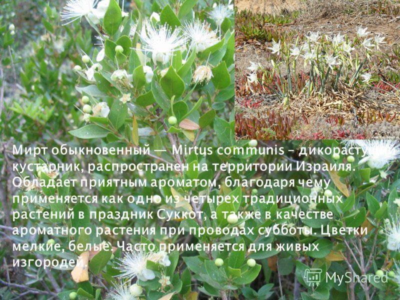 Мирт обыкновенный Mirtus communis – дикорастущий кустарник, распространен на территории Израиля. Обладает приятным ароматом, благодаря чему применяется как одно из четырех традиционных растений в праздник Суккот, а также в качестве ароматного растени