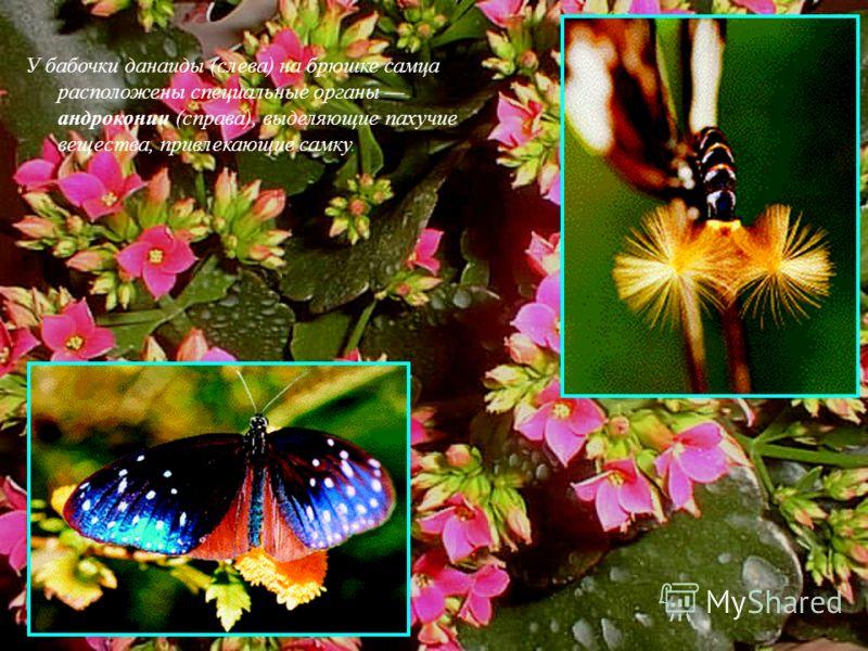 У бабочки данаиды (слева) на брюшке самца расположены специальные органы андроконии (справа), выделяющие пахучие вещества, привлекающие самку.