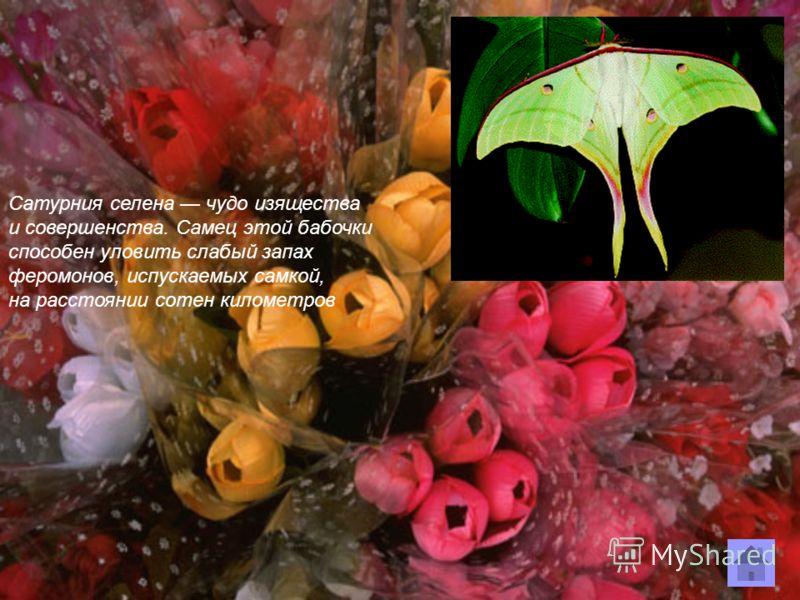 Сатурния селена чудо изящества и совершенства. Самец этой бабочки способен уловить слабый запах феромонов, испускаемых самкой, на расстоянии сотен километров