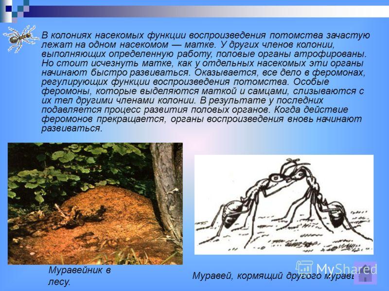 Муравейник в лесу. Муравей, кормящий другого муравья. В колониях насекомых функции воспроизведения потомства зачастую лежат на одном насекомом матке. У других членов колонии, выполняющих определенную работу, половые органы атрофированы. Но стоит исче