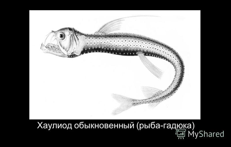 Хаулиод обыкновенный (рыба-гадюка)