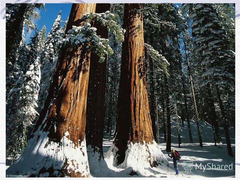 Продолжение путешествия Хорошо побывать в зимнем лесу. Под дубом Витя сорвал большой гриб. На лапах елей лежит снег. На тонких ветках берёз снежный пух. Весь в снегу стоит дуб. В лесу много ярких цветов. Хорошо поработал в лесу мороз. На лапах елей л