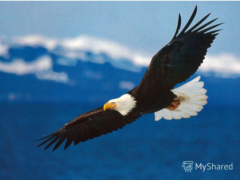 Белоголовый орлан Белоголовый орлан - крупная хищная птица, живущая на территории США, Канады и Мексики. Белоголовый орлан - крупная хищная птица, живущая на территории США, Канады и Мексики. Белоголовый орлан считался священной птицей в культурах мн