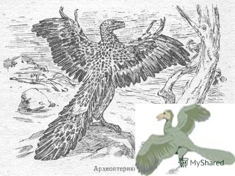 Появляются первые птицы археоптериксы, величиной, с голубя. Кроме коротких перьев, на крыльях у археоптериксов было по семнадцать маховых перьев. Рулевые перья хвоста располагались на всех хвостовых позвонках и были направлены назад и. вниз. Одни исс