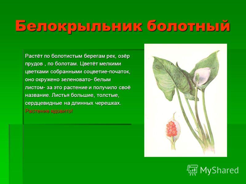 Белокрыльник болотный Растёт по болотистым берегам рек, озёр прудов, по болотам. Цветёт мелкими цветками собранными соцветие-початок, оно окружено зеленовато- белым листом- за это растение и получило своё название. Листья большие, толстые, сердцевидн