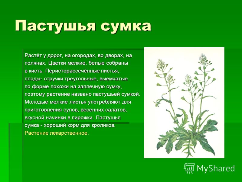Пастушья сумка Растёт у дорог, на огородах, во дворах, на полянах. Цветки мелкие, белые собраны в кисть. Перисторассечённые листья, плоды- стручки треугольные, выемчатые по форме похожи на заплечную сумку, поэтому растение названо пастушьей сумкой. М