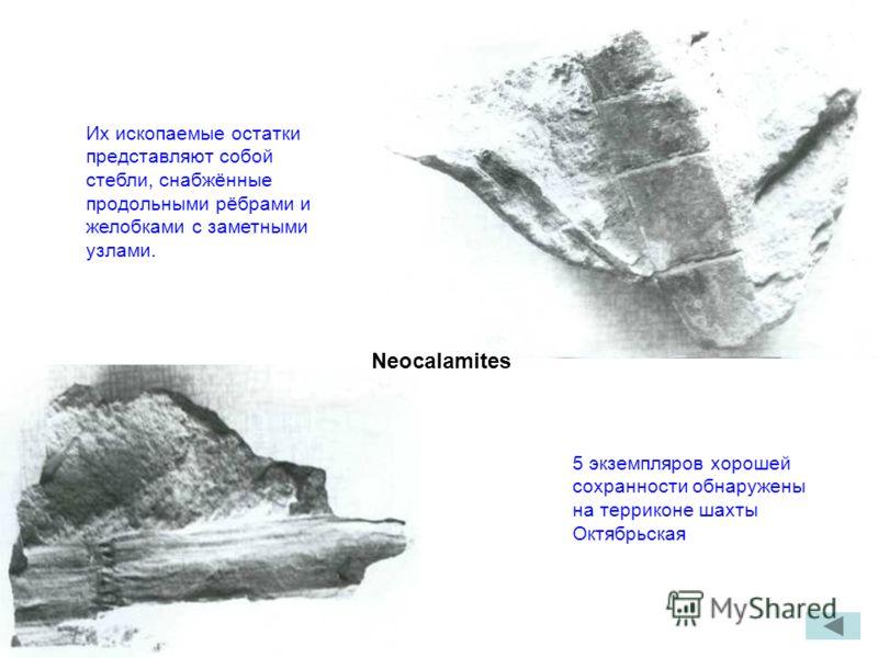 Neocalamites Их ископаемые остатки представляют собой стебли, снабжённые продольными рёбрами и желобками с заметными узлами. 5 экземпляров хорошей сохранности обнаружены на терриконе шахты Октябрьская