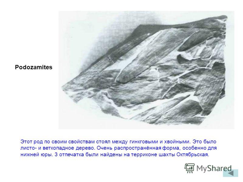Podozamites Этот род по своим свойствам стоял между гинкговыми и хвойными. Это было листо- и веткопадное дерево. Очень распространённая форма, особенно для нижней юры. 3 отпечатка были найдены на терриконе шахты Октябрьская.