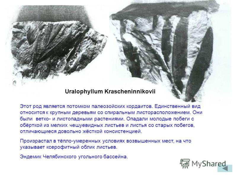 Uralophyllum Krascheninnikovii Этот род является потомком палеозойских кордаитов. Единственный вид относится к крупным деревьям со спиральным листорасположением. Они были ветко- и листопадными растениями. Опадали молодые побеги с обёрткой из мелких ч