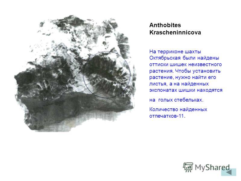 Anthobites Krascheninnicova На терриконе шахты Октябрьская были найдены оттиски шишек неизвестного растения. Чтобы установить растение, нужно найти его листья, а на найденных экспонатах шишки находятся на голых стебельках. Количество найденных отпеча