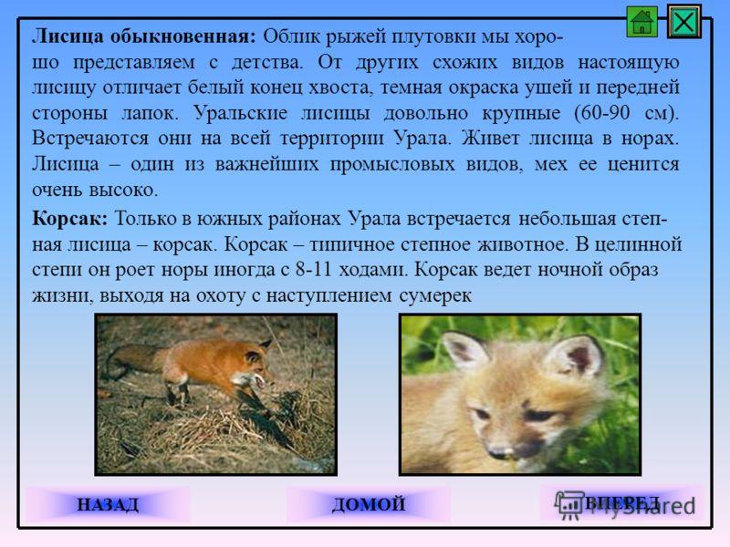 Лисица обыкновенная: Облик рыжей плутовки мы хоро- шо представляем с детства. От других схожих видов настоящую лисицу отличает белый конец хвоста, темная окраска ушей и передней стороны лапок. Уральские лисицы довольно крупные (60-90 см). Встречаются