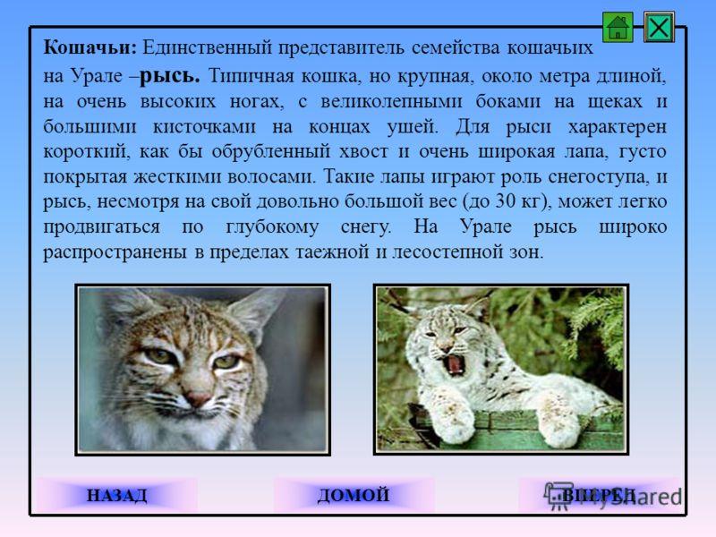 Кошачьи: Единственный представитель семейства кошачьих на Урале – рысь. Типичная кошка, но крупная, около метра длиной, на очень высоких ногах, с великолепными боками на щеках и большими кисточками на концах ушей. Для рыси характерен короткий, как бы