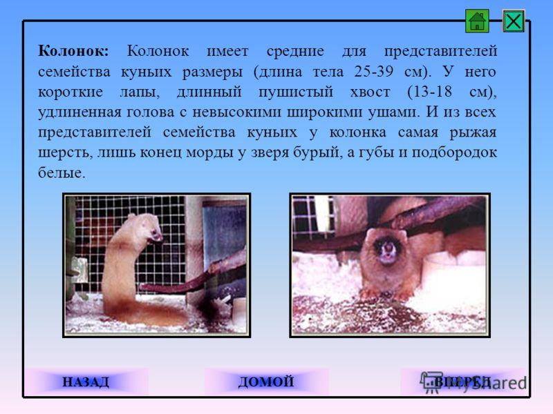 Колонок: Колонок имеет средние для представителей семейства куньих размеры (длина тела 25-39 см). У него короткие лапы, длинный пушистый хвост (13-18 см), удлиненная голова с невысокими широкими ушами. И из всех представителей семейства куньих у коло