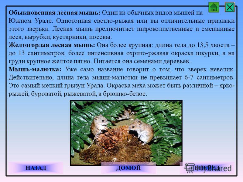 Обыкновенная лесная мышь: Один из обычных видов мышей на Южном Урале. Однотонная светло-рыжая или вы отличительные признаки этого зверька. Лесная мышь предпочитает широколиственные и смешанные леса, вырубки, кустарники, посевы. Желтогорлая лесная мыш