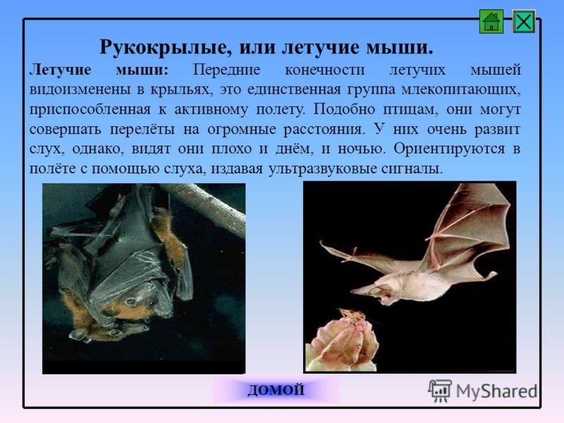 Рукокрылые, или летучие мыши. Летучие мыши: Передние конечности летучих мышей видоизменены в крыльях, это единственная группа млекопитающих, приспособленная к активному полету. Подобно птицам, они могут совершать перелёты на огромные расстояния. У ни