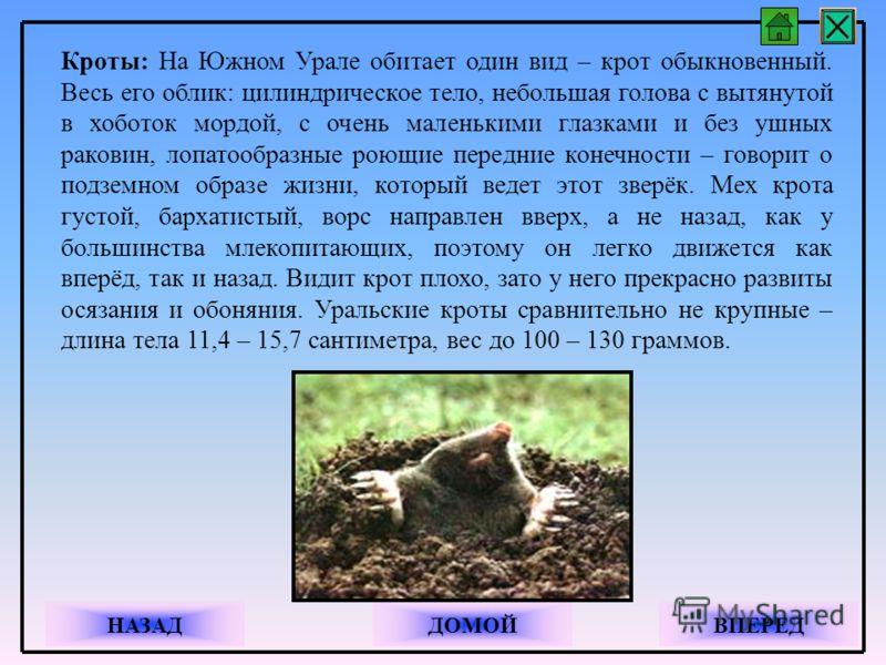 Кроты: На Южном Урале обитает один вид – крот обыкновенный. Весь его облик: цилиндрическое тело, небольшая голова с вытянутой в хоботок мордой, с очень маленькими глазками и без ушных раковин, лопатообразные роющие передние конечности – говорит о под