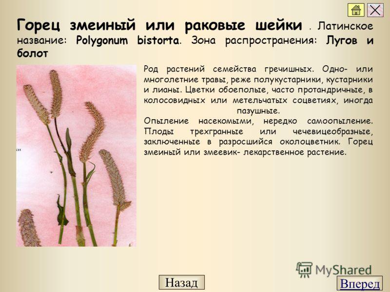 Род растений семейства гречишных. Одно- или многолетние травы, реже полукустарники, кустарники и лианы. Цветки обоеполые, часто протандричные, в колосовидных или метельчатых соцветиях, иногда пазушные. Опыление насекомыми, нередко самоопыление. Плоды
